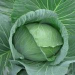 Обзор характеристик и описание сорта капусты Московская поздняя, выращивание