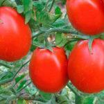 Характеристика и описание сорта томата Новичок, выращивание и уход