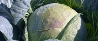 Обзор характеристик и описание сорта капусты Подарок, выращивание и уход