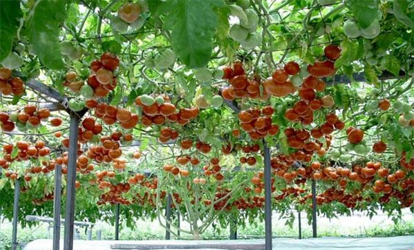 томатное дерево спрут F1