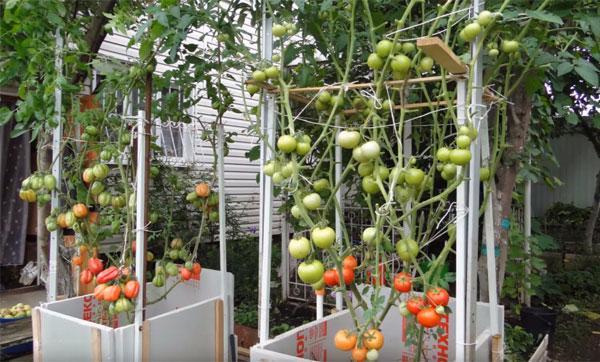 томатное дерево в открытом грунте