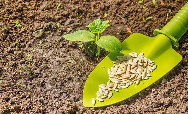 посадка огурцов семенами и рассадой