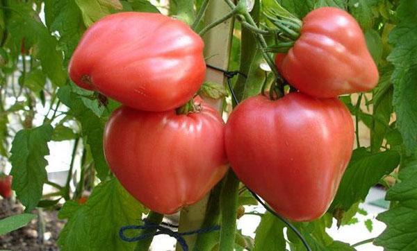 томат сорта Розовый Мед