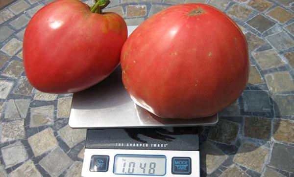 урожай томата Розовый Мед