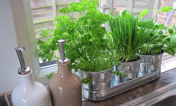 выращивание на подоконнике лука
