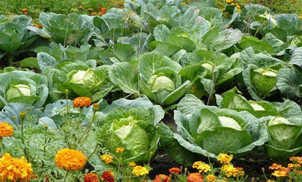 дружный урожай капусты
