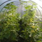 Особенности выращивания огурцов в теплице и секреты правильного ухода