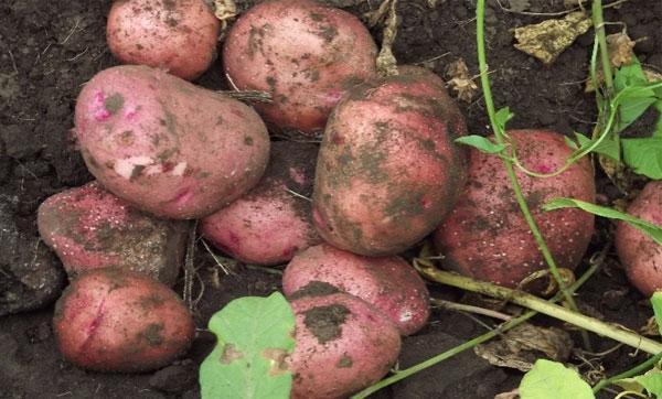 урожайность картофеля с куста