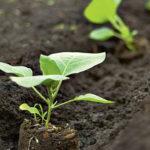 Выращивание баклажанов в открытом грунте, уход, советы и рекомендации