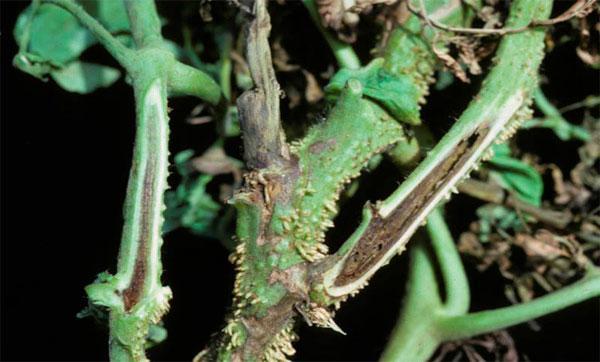 Некроз стебля помидоров