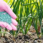 Чем лучше всего подкормить лук на репку или зелень: схемы и правила внесения удобрений