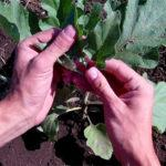 Как правильно формировать баклажаны в теплице и открытом грунте: особенности, схемы