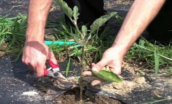 формирование куста в открытом грунте