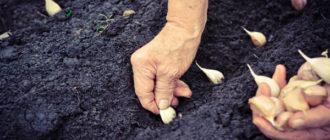 Правила посадки чеснока осенью под зиму: когда и как правильно сажать, уход
