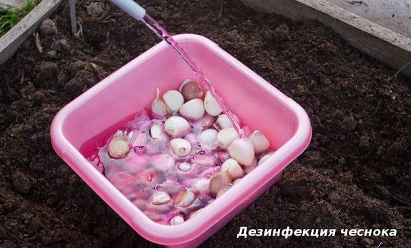 подготовка чеснока перед посадкой