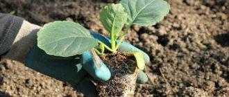 Правила посадки капусты в открытый грунт: агротехника выращивания и ухода