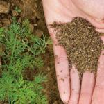 Правила посадки моркови весной в открытый грунт семенами: как и когда сажать, уход