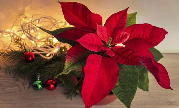 Цветок рождественская звезда уход в домашних условиях