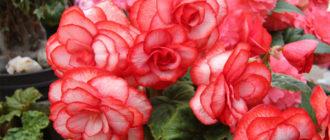 Уход в домашних условиях за цветком Бегония, пересадка и размножение