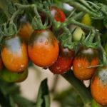 Характеристика и описание томата сорта Черный Мавр, выращивание и уход
