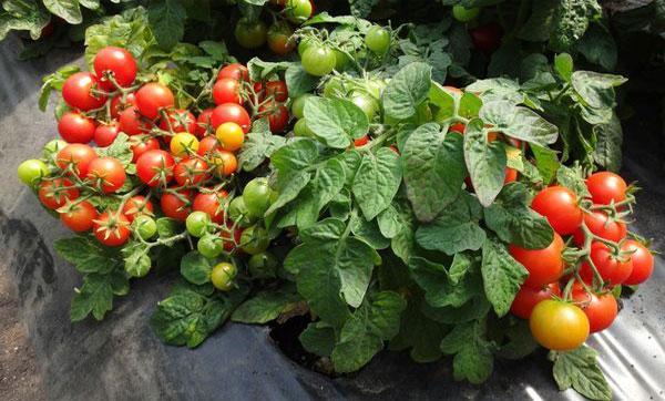 выращивание черри в открытом грунте