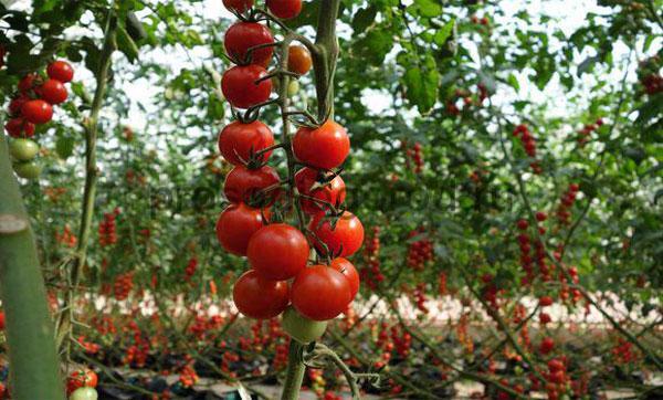 выращивание черри в теплице