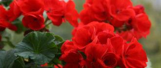 Уход в домашних условиях за цветком Герань, пересадка и размножение