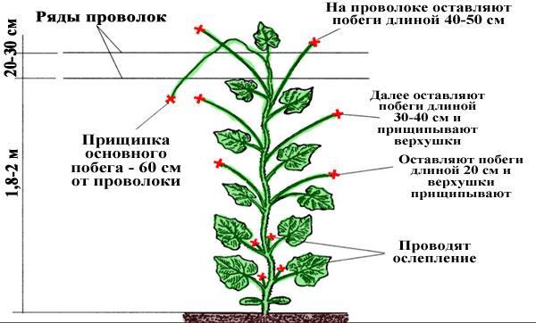 насекомоопыляемые сорта и гибриды