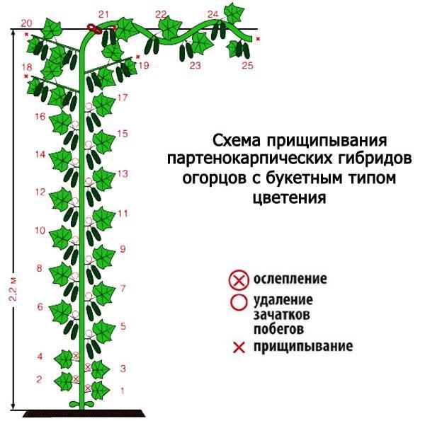 схема формирования партенокарпических гибридов огурца