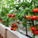 Как правильно вырастить помидоры на балконе: пошаговая инструкция, выбор сорта, уход