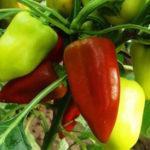 Характеристика и описание перца сорта Ласточка, выращивание и уход