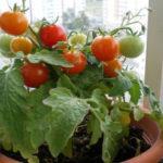 Как вырастить помидоры на подоконнике зимой и летом, уход
