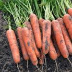 Характеристика и описание сорта моркови Самсон, выращивание и уход