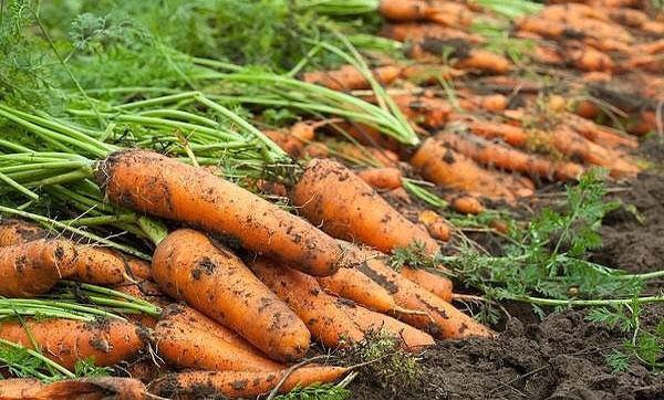 урожайность моркови