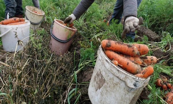 уборка морковки