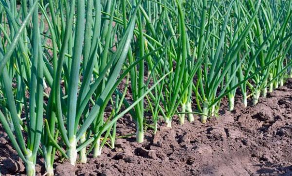 урожайность лука Стурон