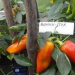 Характеристика и описание перца сорта Винни пух, выращивание и уход