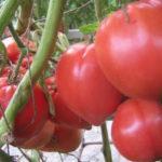 Характеристика и описание сорта томата Воловье сердце, выращивание