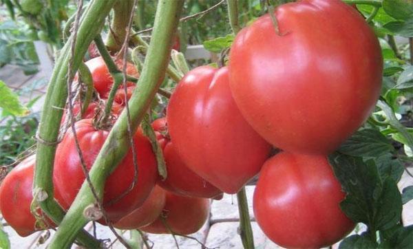 томат воловье сердце