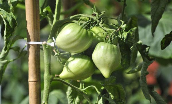 урожайный сорт томатов