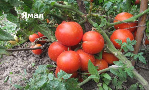 урожайность томатов