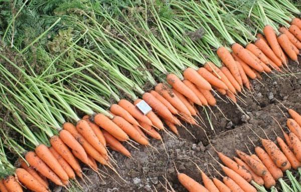 урожай моркови Абако