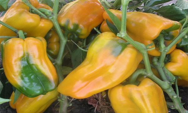 урожайность перца