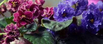 Уход в домашних условиях за цветком Фиалка, пересадка и размножение