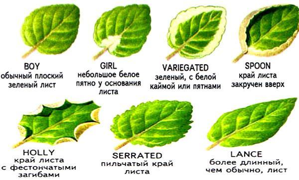 виды листьев фиалок