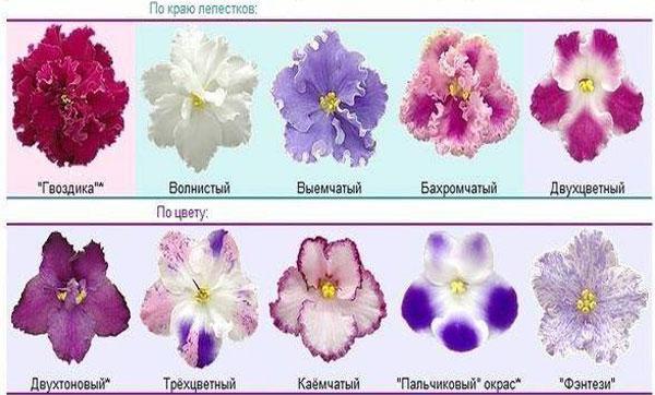 фиалки по форме цветка