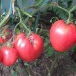 Характеристика и описание томата сорта Кардинал, выращивание и уход