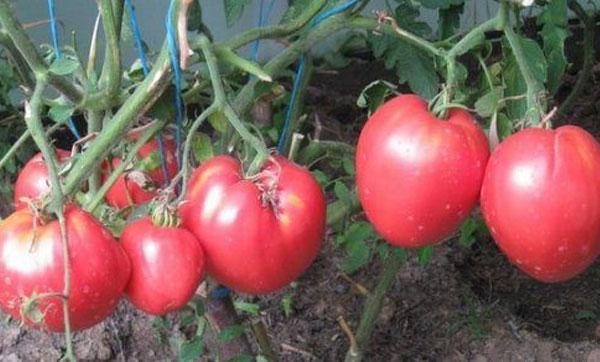 урожайность томата Кардинал