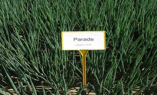 урожайность лука параде