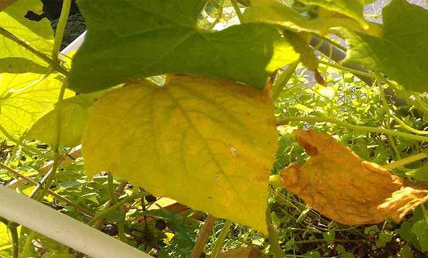 пожелтели нижние листья огурцов